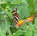 Dryadula phaetusa, Banded Orange. underside - Flickr - gailhampshire.jpg