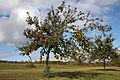 Dual species apple tree, Lyne Down - geograph.org.uk - 1530136.jpg