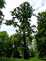 Dub v parku v Dolnich Pocernicich.JPG
