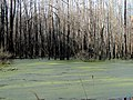 Duckweed Pee Dee NWR NC 5559 (16332818477).jpg