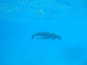 Epi (island) - Dugong with attached remora, Lamen Island, Epi, Vanuatu.