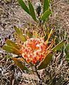 Dwarf Pincushion (Leucospermum gerrardii) flower (32155049390).jpg