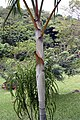 Dypsis lutescens 23zz.jpg