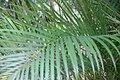 Dypsis lutescens 6zz.jpg