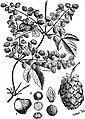 EB1911 - Hop Fig.2.jpg