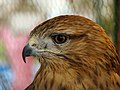 Eagle عقاب 21.jpg