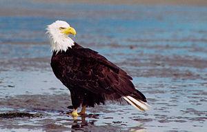 Bald and Golden Eagle Protection Act - Bald eagle