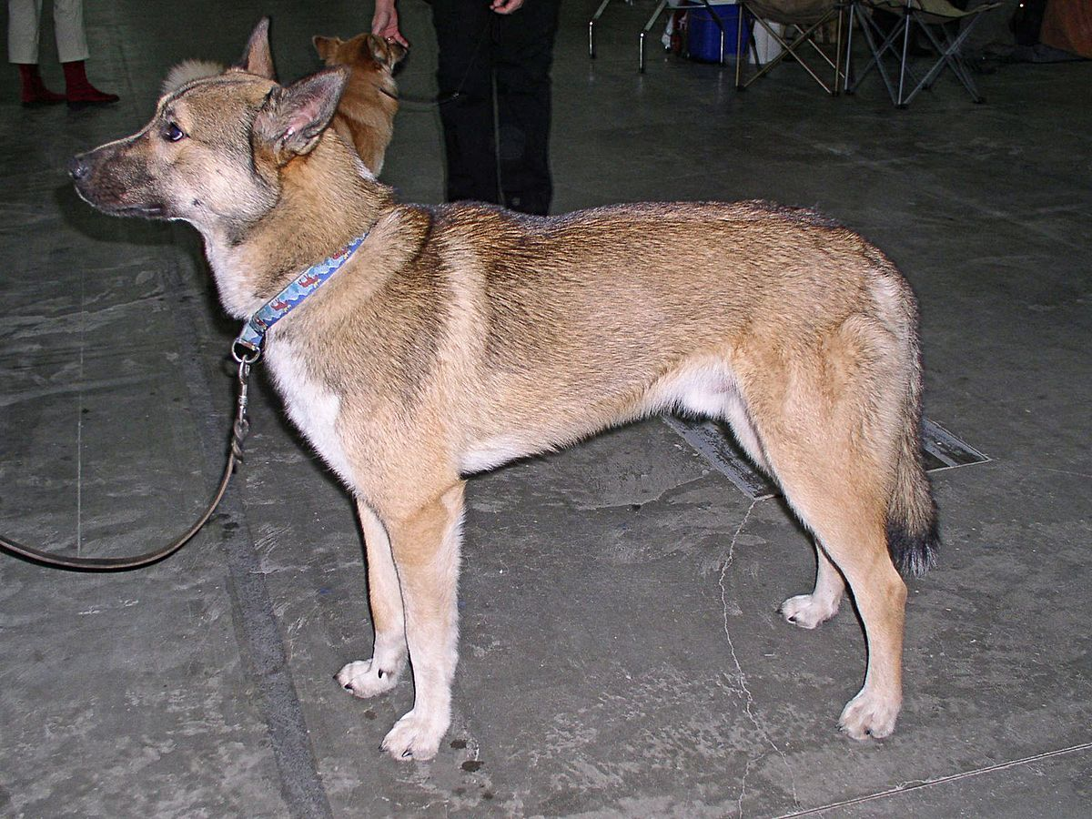 Buryat-Mongolian Wolfhound: breed description, characteristics and features 4
