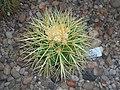 Echinocactus grusonii 2016-05-31 1774.jpg