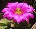 Echinocereus viereckii ssp. morricalii HBG 48099 Apr07.JPG