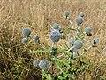 Echinops sphaerocephalus sl10.jpg