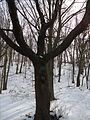 Echo Lake NJ Sweet Cherry tree in winter with snow.JPG