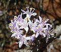 Ehretia rigida subsp rigida, blomme, Groenkloof NR, a.jpg