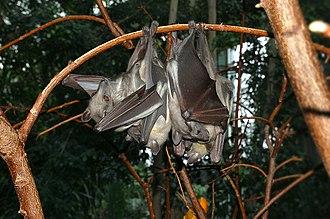 Kasanka National Park - Image of Eidolon helvum, straw-coloured fruit bat