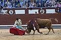 El torero Fortes se dobla con un toro en Madrid.jpg