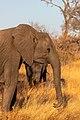 Elefante africano de sabana (Loxodonta africana), parque nacional Kruger, Sudáfrica, 2018-07-25, DD 15.jpg