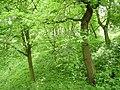Elm wood - geograph.org.uk - 233180.jpg