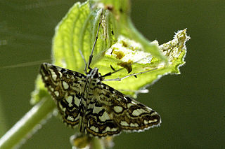 <i>Elophila</i> Genus of moths