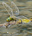 Emperor Dragonfly (Anax imperator) female laying eggs ... (35534173191).jpg