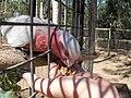 Eolophus roseicapilla -Billabong Sanctuary-8a.jpg