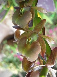 Epidendrum coriifolium - Flickr 003