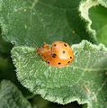 Epilachna chrysomelina. Coccinellidae - Flickr - gailhampshire.jpg
