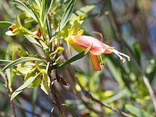 Eremophila oldfieldii (leaves and flowers).jpg
