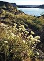 Eriogonum heracleoides var. heracleoides 2.jpg