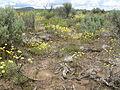 Eriogonum ovalifolium (4045137601).jpg
