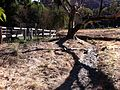 Erosion from loss of riparian vegetation Hidden Villa 2010.jpg