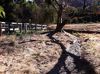 Hidden Villa - Loss of streamside (riparian) vegetation increases stream velocity, causing downstream erosion and channel incision (dark gully behind tree)