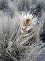 Eryngium monocephalum 1.jpg