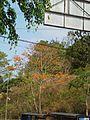Erythrina poeppigiana (Walp.) O.F.Cook - 2013 012.JPG