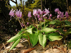 Erythronium japonicum - Image: Erythronium japonicum 2006 007