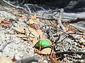 Escarabajo en los bosques patagónicos.JPG