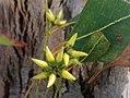 Eucalyptus amplifolia - buds.jpg