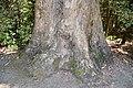 Eucalyptus globulus 01.jpg