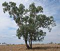 Eucalyptus orgadophila habit.jpg