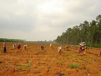 Tree planting - A eucalyptus plantation in final stages at Arimalam.