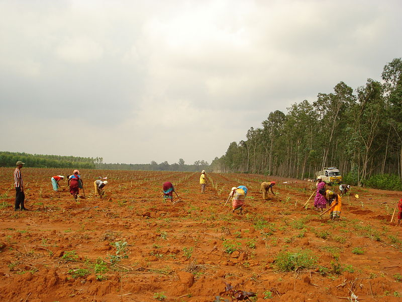 File:Eucalyptus plantation in final stages.JPG