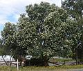 Eucalyptus wandoo.JPG