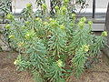 Euphorbia characias wulfenii2.jpg