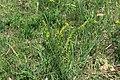Euphorbia cyparissias in natural monument Kalamandra in spring 2012 (3).JPG