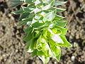 Euphorbia myrsinites4.jpg