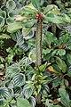 Euphorbia viguieri 10zz.jpg