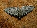 Eupithecia indigata - Ochreous pug - Цветочная пяденица сосновая (40050045405).jpg