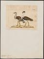 Eupodotis edwardsii - 1820-1860 - Print - Iconographia Zoologica - Special Collections University of Amsterdam - UBA01 IZ17200039.tif