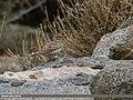 Eurasian Skylark (Alauda arvensis) (32126725565).jpg