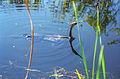 Everglades22(js)-Anhinga.jpg