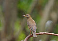 Eyebrowed Thrush1.jpg